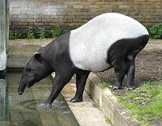 Thumb malayan tapir